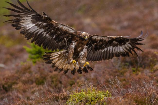 Will estates fund the development of more hi-tech tags to help monitor birds like Golden Eagles?