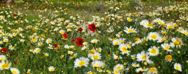 Scottish wildflowers have been going extinct across the country.