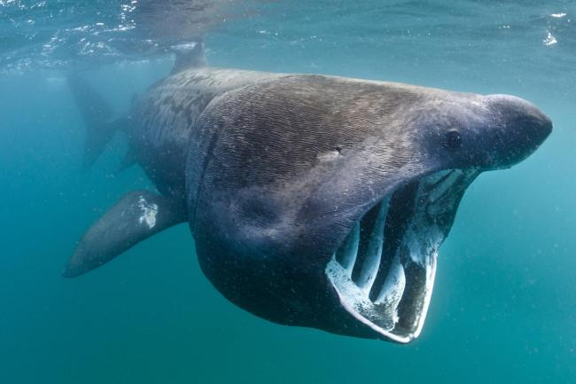 A basking shark (Ceterhinus maximus) feeding in open water