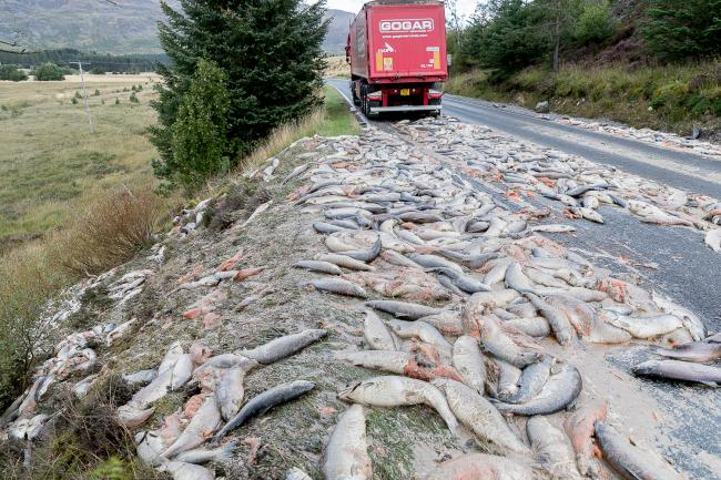 An accident on the A86 near Laggan on September 13 spilled hundreds of dead salmon across the road and down the embankment