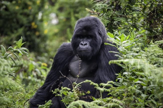 Populations of endangered species including mountain gorillas are increasing