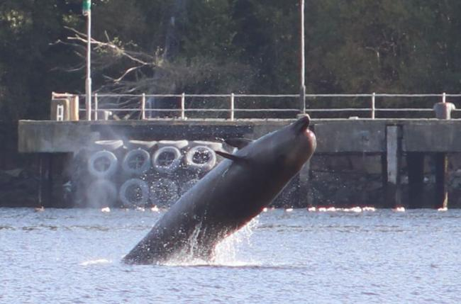 Rescuers had attempted to herd a pod of northern bottlenose whales out of Gare Loch in Argyll and Bute ahead of the naval operation