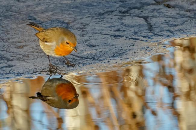 This robin was seen admiring itself at the Campsie Fells