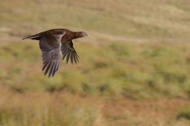 Licences have been proposed for businesses which shoot Red Grouse
