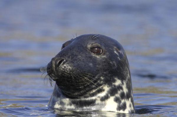 Grey seals such as this have been seen attacking other seals