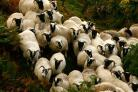 Sheep-rearing in Scotland has been subsidised by the EU funding programmes