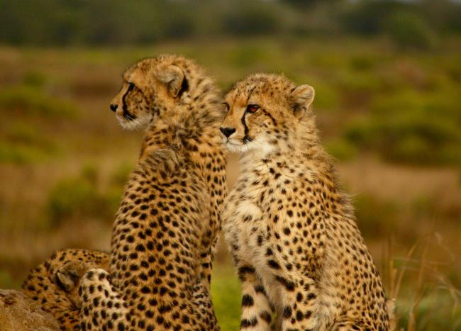 Cheetahs in the wild are classed as 'vulnerable'