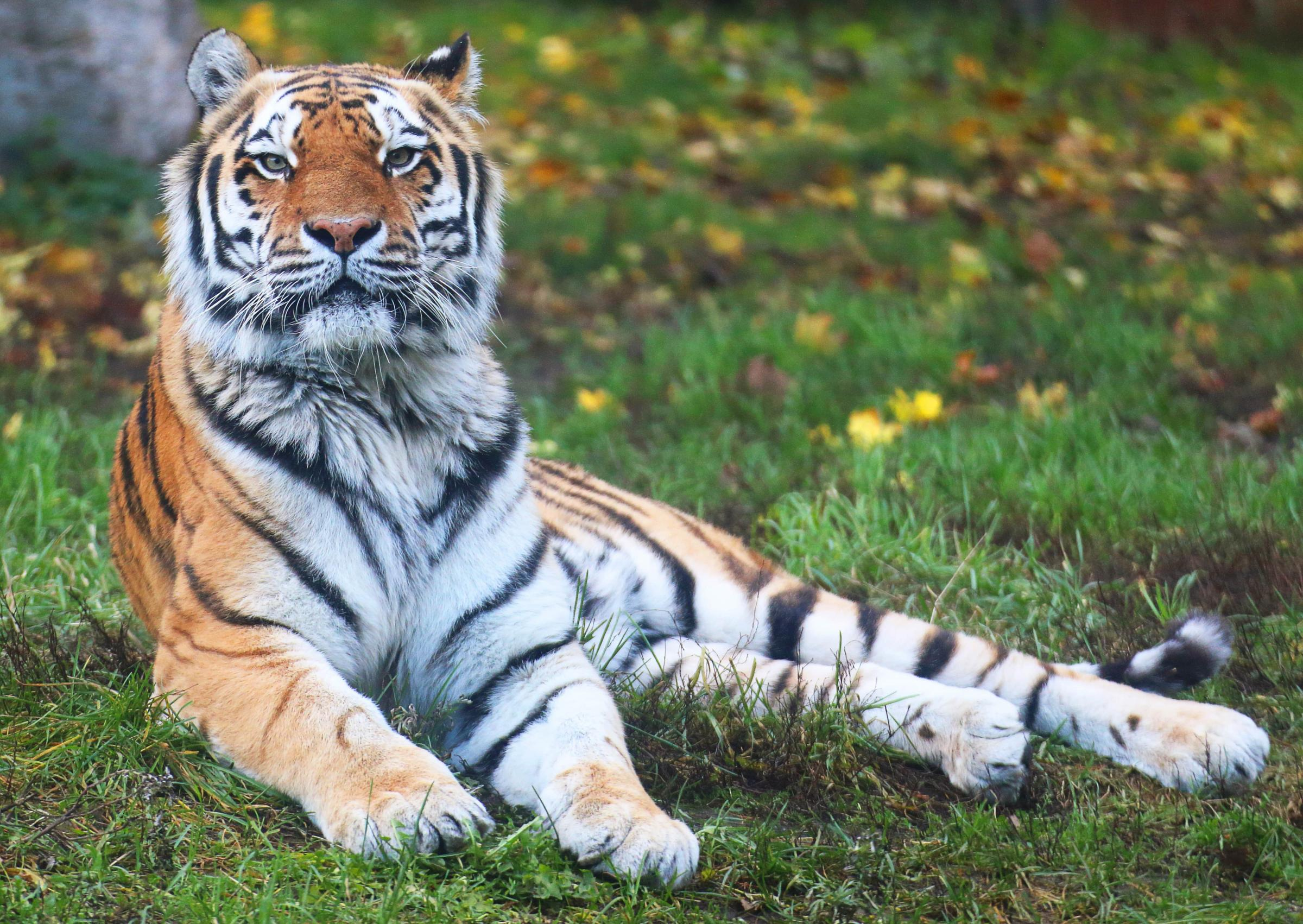 research paper on endangered tigers After a century of decline, tiger numbers are on the rise at least 3,890 tigers remain in the wild, but much more work is needed to protect this species that's still vulnerable to.