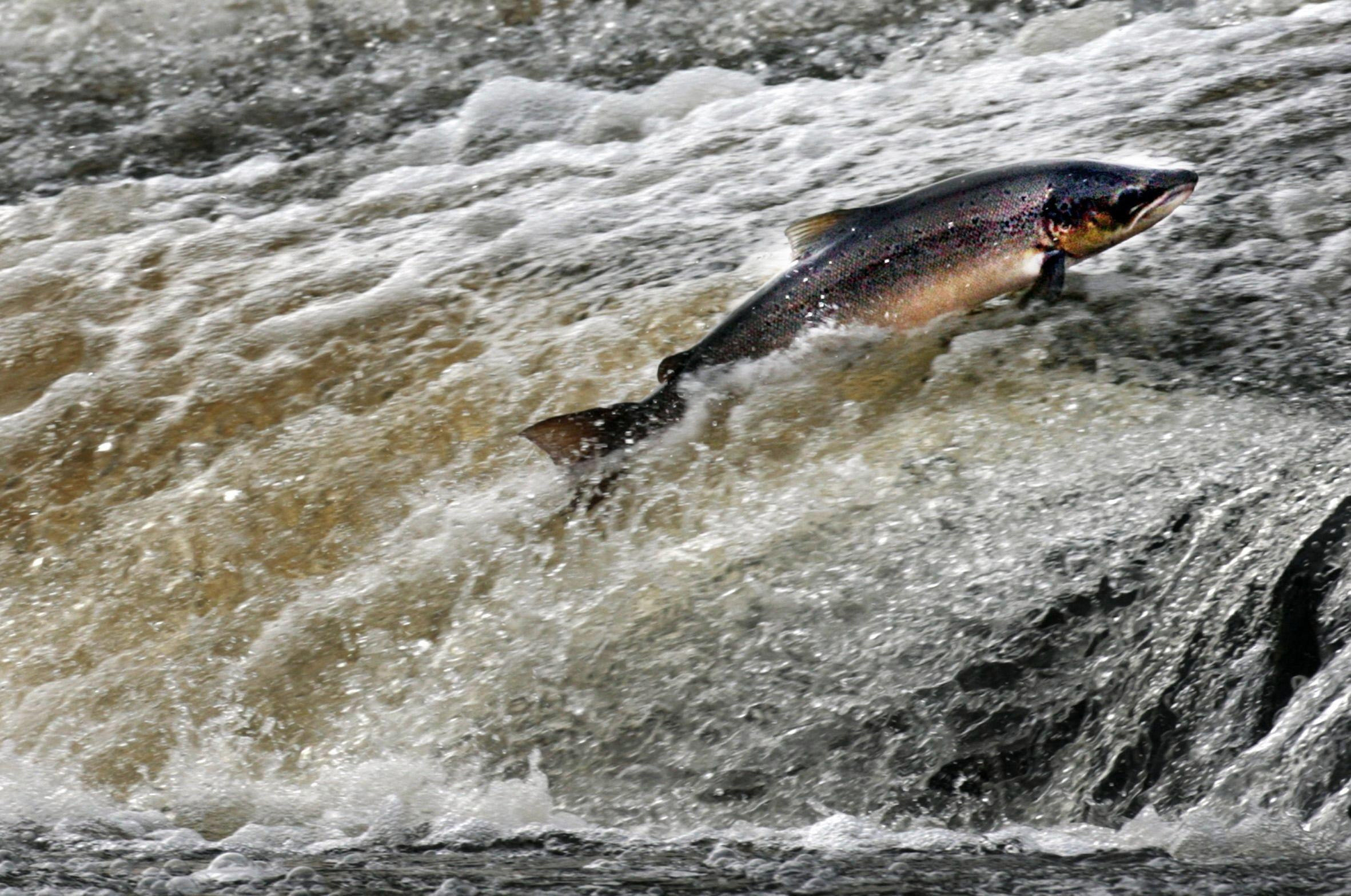 Scottish salmon account for 75 per cent of the UK's wild salmon production
