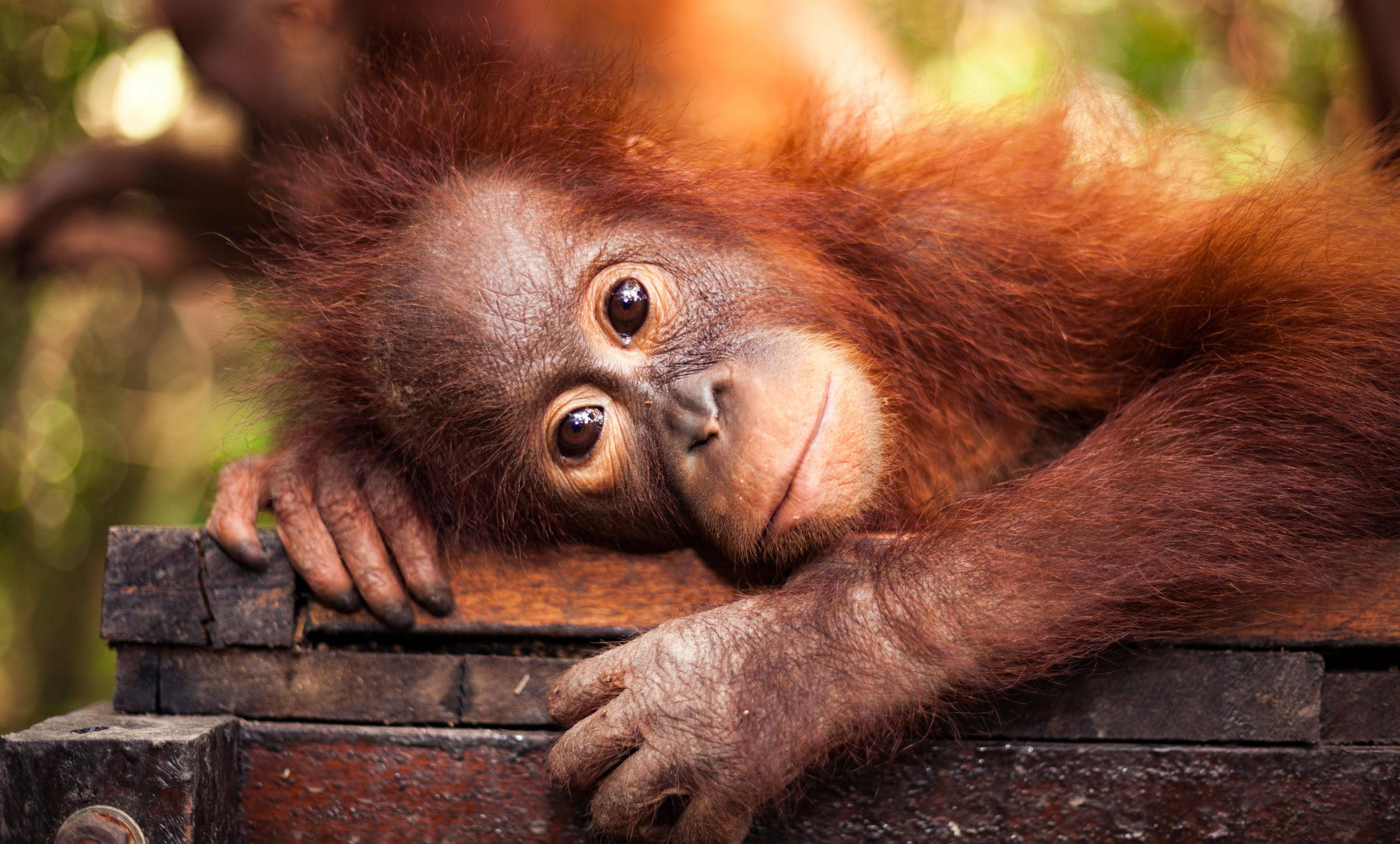 On the brink: the orangutan