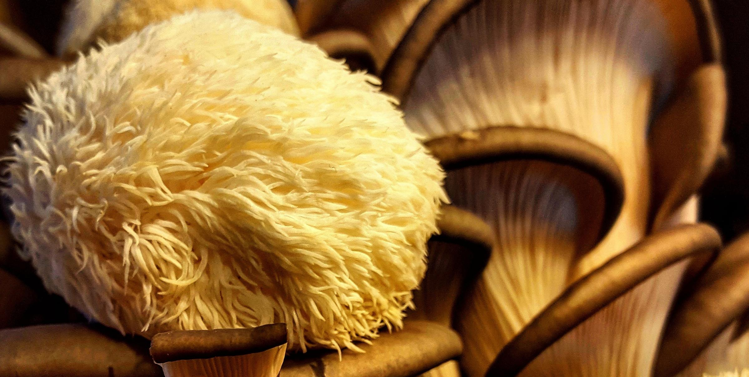 The 'Lion's Mane' mushroom – named for its resemblance