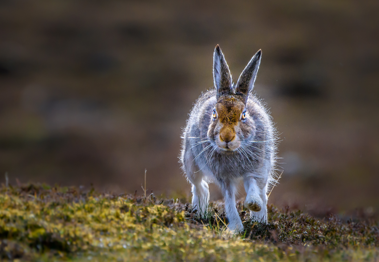 The mountain hare population on moorland sites decreased by almost 5% every year