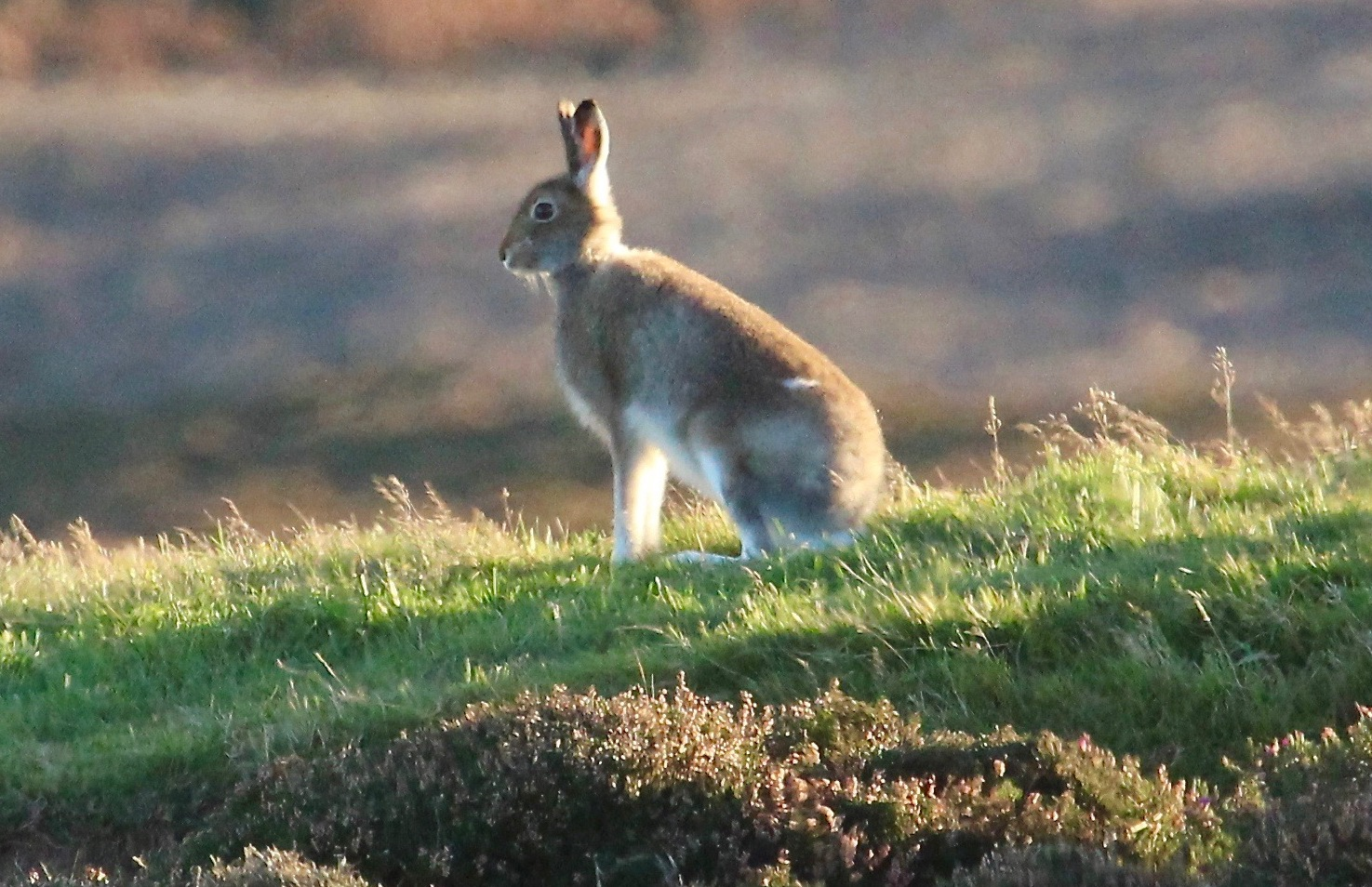 Mountain hares are targeted because they carry a disease which negatively impacts red grouse