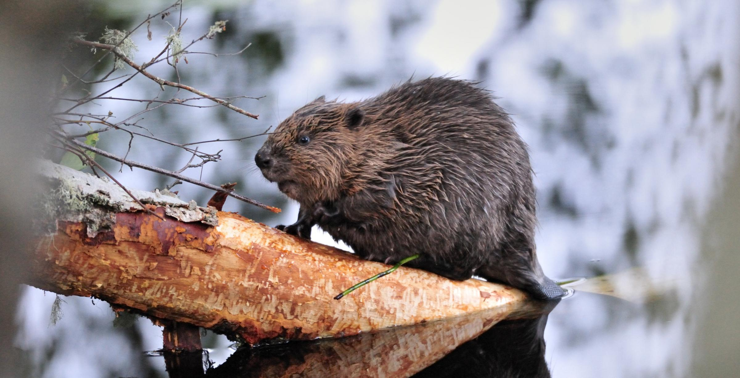 Farmers have voiced concerns over agricultural damage due to a rise in the beaver population