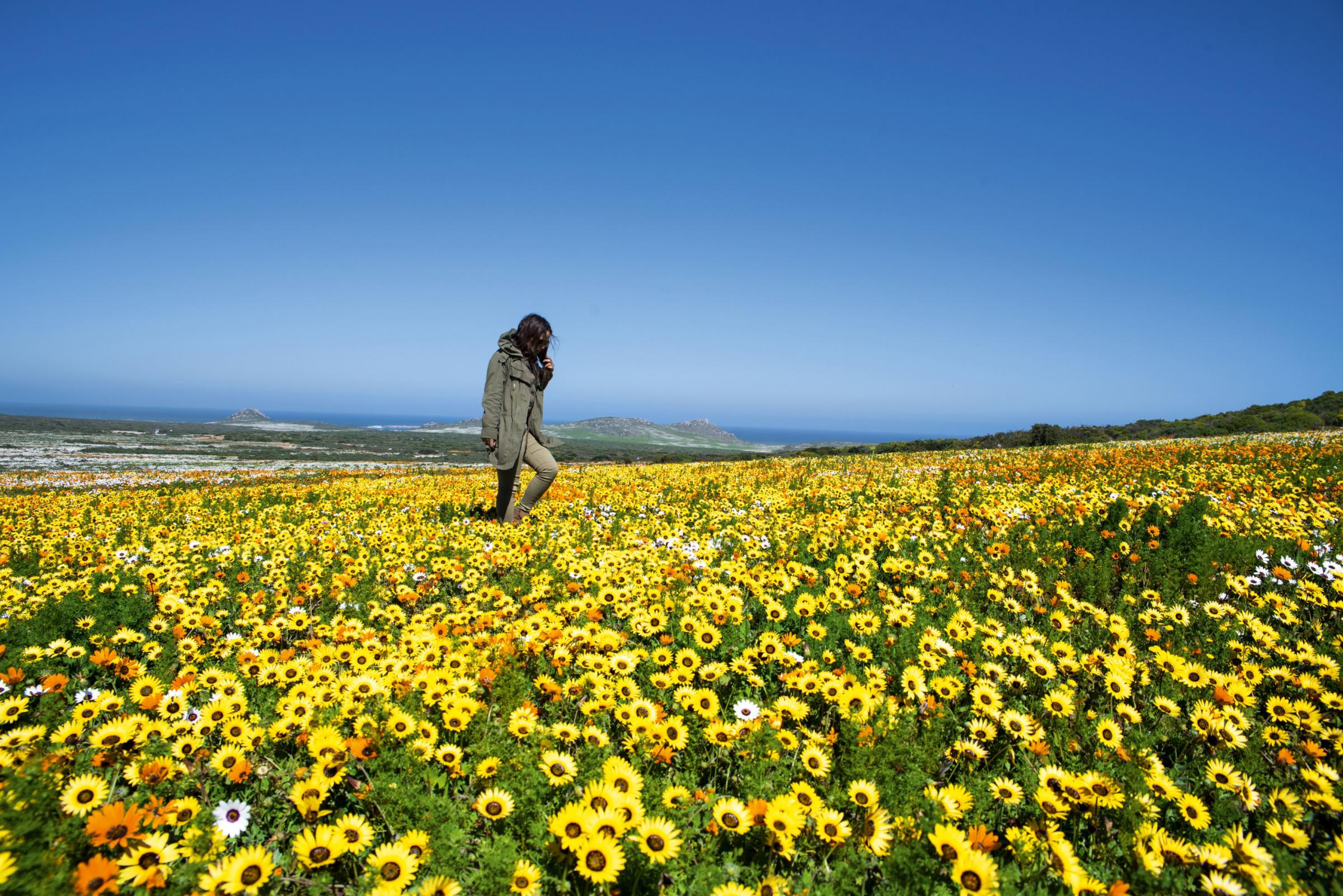 Wild blooms form a living carpet on the Diamond Coast, Namqualand, in the Northern Cape