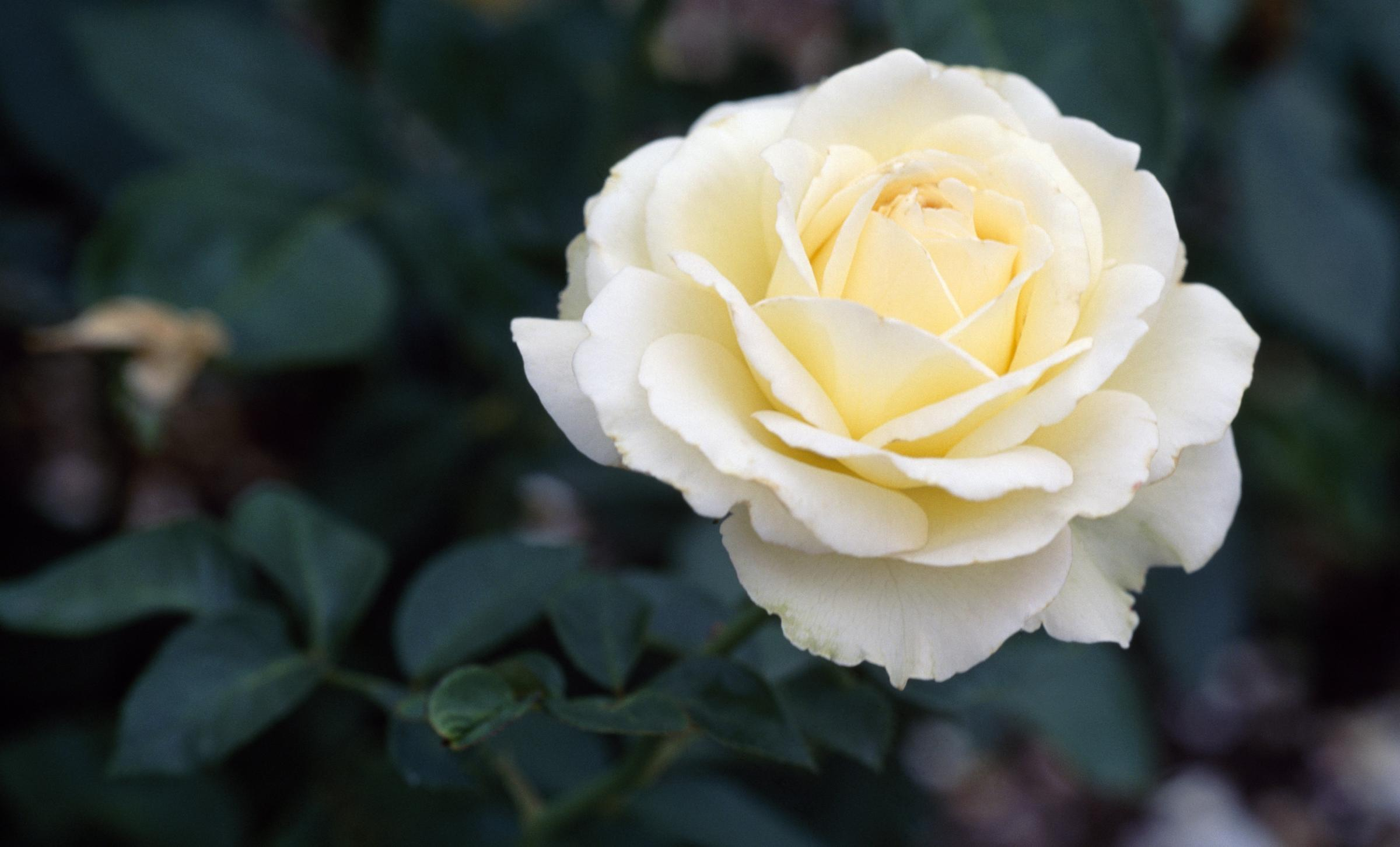 March 30 will be officially known as White Rose Day