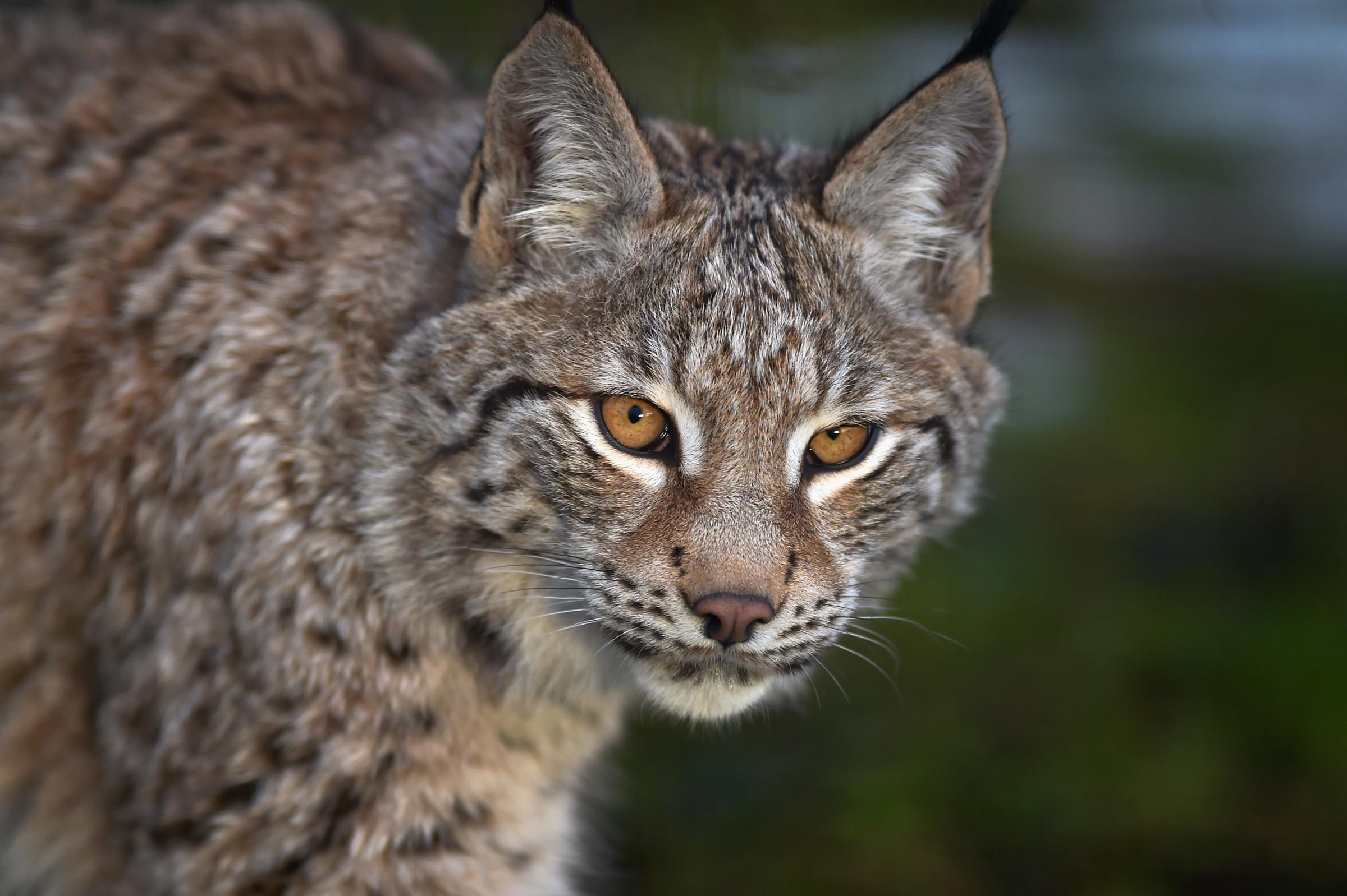 Lynx effect: Could the wildcats be reintroduced to Scotland in an area near you?