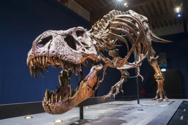 Trix, the Tyrannosaurus rex will be in town