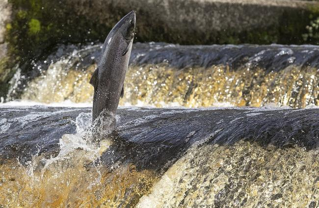 Rates of rod-caught salmon have plummeted