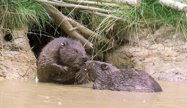 Beavers became extinct in Scotland nearly 500 years ago