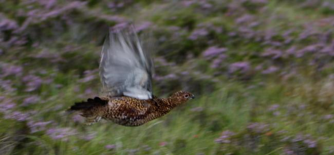 There are no tests for lead or insecticides before grouse enter the food chain