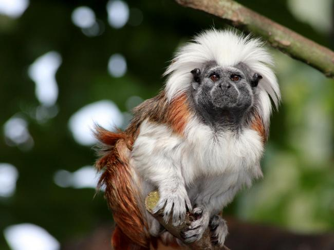 New World monkeys like tamarins, which live in South America, are facing significant threats to their habitats as a result of climate change